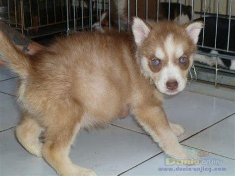 Sprei Murah Kwalitas Ga Murahan dunia anjing jual anjing siberian husky jual husky jtn btn harga murah kualitas ga murahan