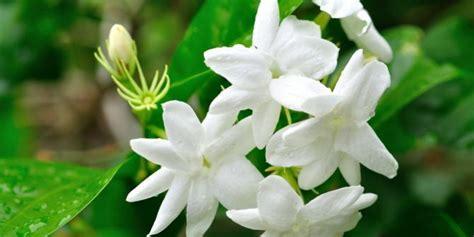 Ini jenis bunga melati unggul yang diekspor   merdeka.com