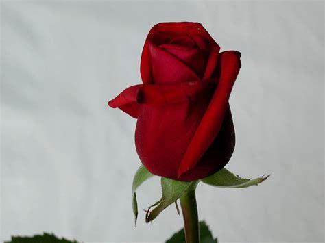 red wallpaper qige87 com red rose images qige87 com