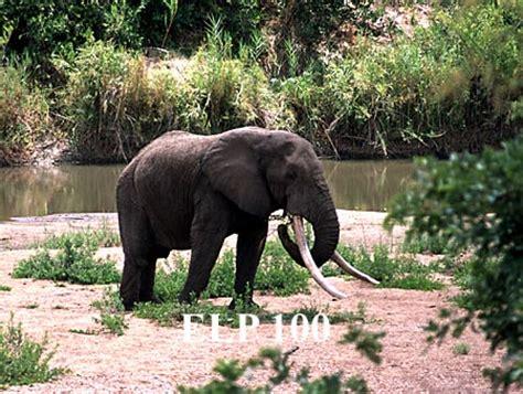 botanical name of elephant wildlife pictures elephants