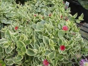 Pictures Of Flowers And Hummingbirds - aptenia cordifolia major variegata glasshouse works