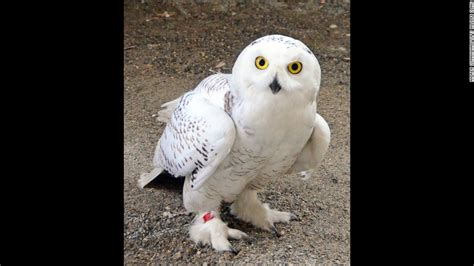 Snowy Owl Papercraft Museum - snowy owls injured by jet downdrafts are back in the