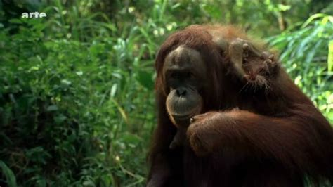 utans auf borneo hd video youtube