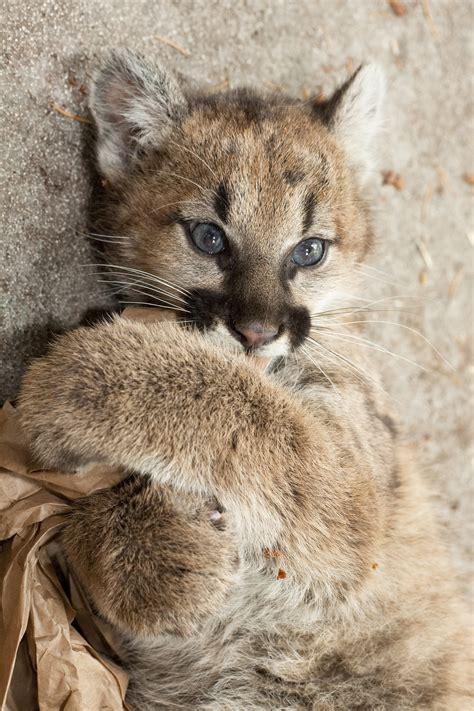 cougar oregon zoo