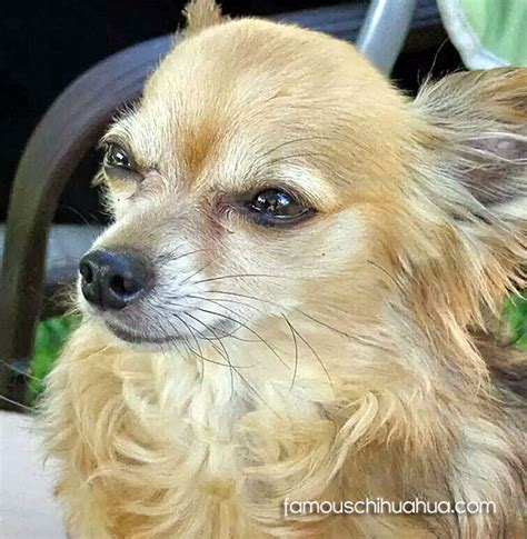 long hair chihuahua hair growth what to expect puppy names for chihuahuas pkhowto