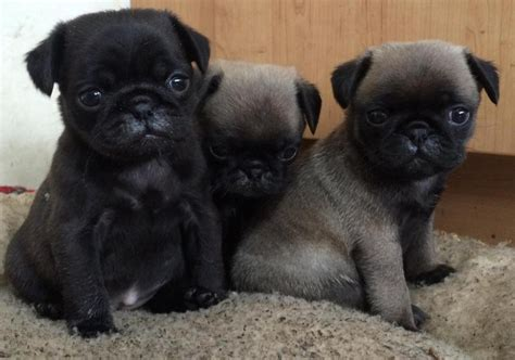 pug puppies for sale west pug puppies for sale platinum fawn black in llanelli expired friday ad