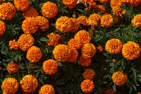 how to plant marigolds in vegetable gardens home guides