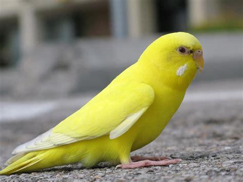 escaped yellow lutino female budgie in texas brilliant