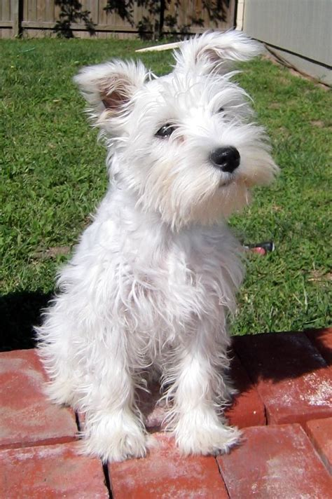 pictures miniature schnauzer with long hair want an all white mini schnauzer who da think it