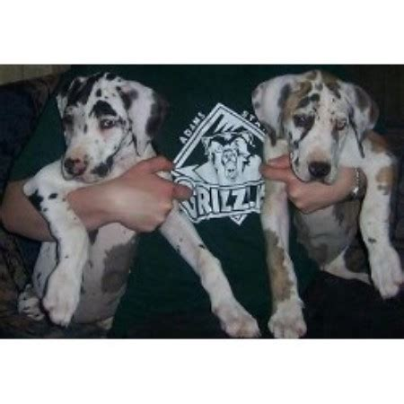 free puppies in rogers arkansas lakeside kennels designer danes great dane breeder in rogers arkansas