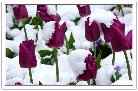 tulips   snow tulips   snow    day  flickr