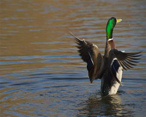 Duck | Info and Photos | The Wildlife