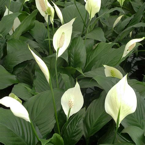 peace lily best 25 peace lily ideas on pinterest peace lilly plant