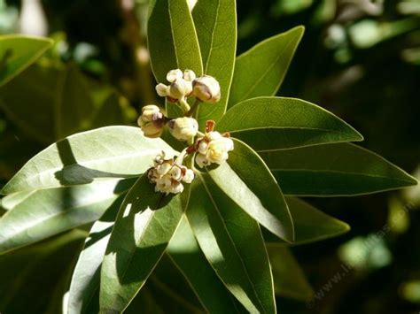 What Does Color Mean Umbellularia Californica Bay Laurel