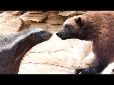 honey badger  wolverine mountainheads  youtube
