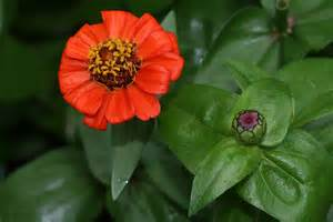 zinnia flower flower picture zinnia picture