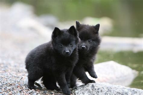 schipperke puppies schipperke puppies photo and wallpaper beautiful schipperke puppies pictures