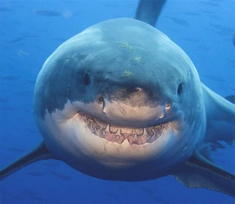 imagenes leones vs tiburones tibur 243 n de nemo en la vida realpichicola net pichicola net