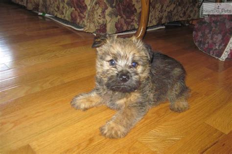 norwich terrier puppies for sale akc norwich breeds picture