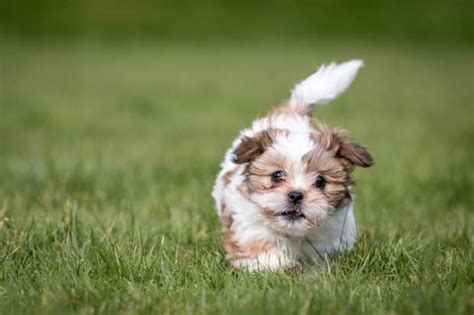 empress shih tzu 9 fluffy facts about the shih tzu mental floss