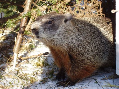 groundhog day lore 17 best images about groundhog day on folklore