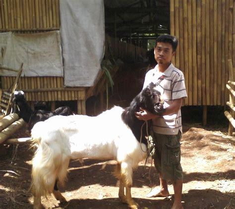 Ternak Kambing Pakan As Tahu ternak kambing pakan ternak ruminansia unggas