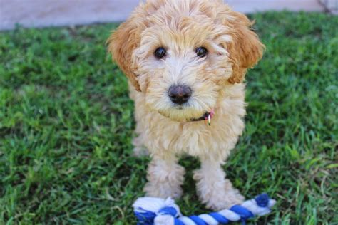 best age to take puppy home the best age to take home a puppy coops and cages coops and cages