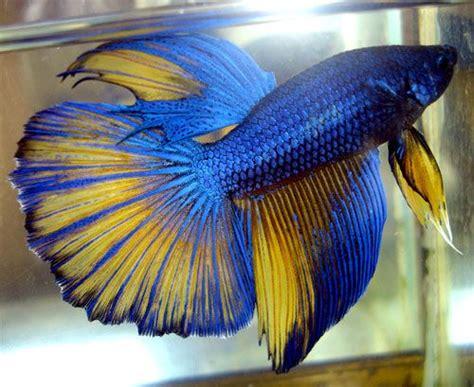 betta fish colors mustard gas betta lyman colors my future fishtank