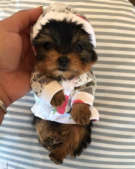 woof woof puppies boutique teacup yorkie puppies at woof woof puppies yelp