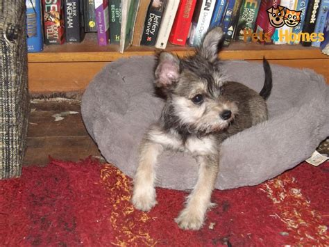 chizer puppies chizer chihuahua x miniature schnauzer mix temperament puppies pictures