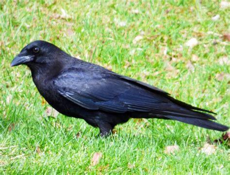 backyard bird watching american crow birdwatching