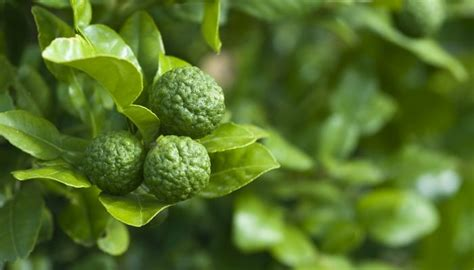 Minyak Atsiri Jeruk Purut 10 manfaat jeruk purut untuk kesehatan khasiat sehat