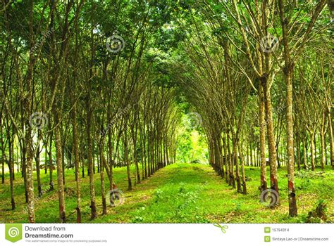 rubber plantation  thailand stock images image