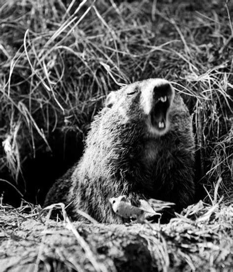 groundhog day moment meaning groundhog day when humans elevate rodents to weathermen