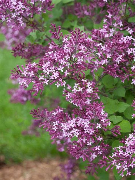 18 lilac varieties hgtv