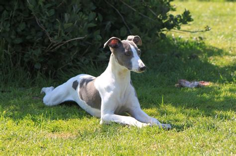 whippet puppies for sale whippet puppies for sale holyhead isle of anglesey pets4homes