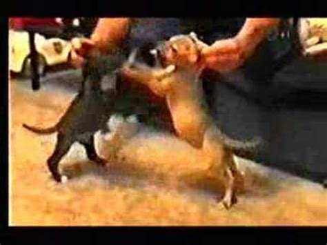 dogs fighting fighting documentary part