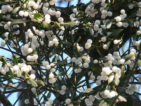 mistletoe berries mistletoe green plant parasite