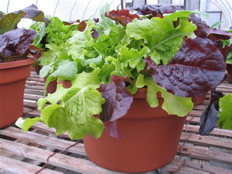 lettuce container garden garden of steph container salads