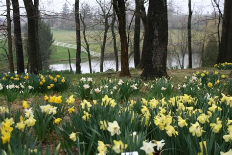 gardens to drive for daffodils heartlandgardening