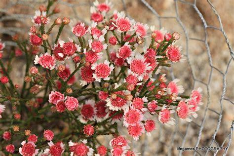 australian flowering shrub flowering australian plants 11 lifegames