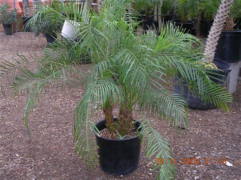 tropical plant rentals tropical plants andtrees petal
