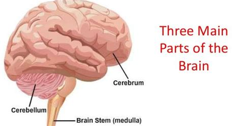 what are the two main sections of an html document this diagram shows the three main parts of the brain