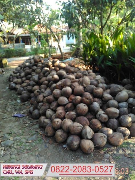 Bibit Kelapa Wulung 0822 2083 0527 tsel jual bibit kelapa wulung jual bibit