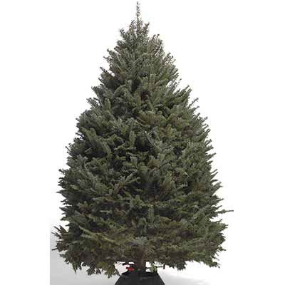 where to cut a x mas tree ri types of real trees the home depot