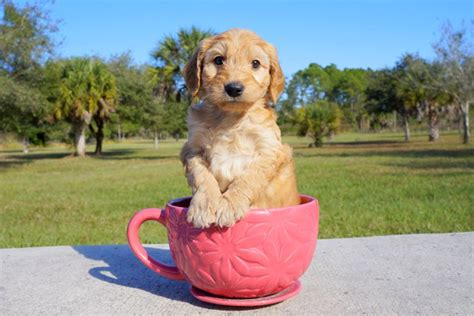 mini goldendoodles for sale in florida meet jax the mini goldendoodle for sale in florida