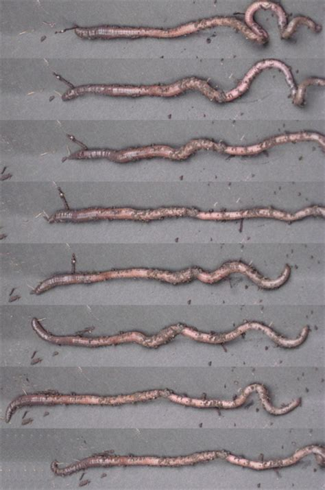 earthworm locomotion diagram observing earthworm locomotion nuffield foundation