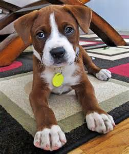Mix puppies daily puppy leuka the boxer mix dogs daily puppy pitbull