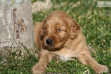 golden retriever breeders kentucky golden retriever louisville golden retriever puppy for sale near louisville kentucky