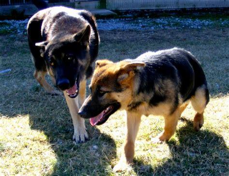puppies in sc cockapoo puppies puppies puppy